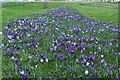 NX1898 : Crocuses, Girvan : Week 10