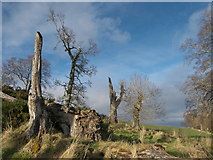 NH7965 : Storm damaged trees above McFarquhar's Bed by Julian Paren