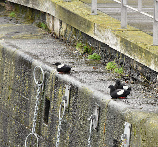 Black guillemots, Donegall Quay, Belfast (March 2017)
