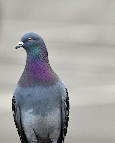 Feral pigeon, Sydenham, Belfast (March 2017)