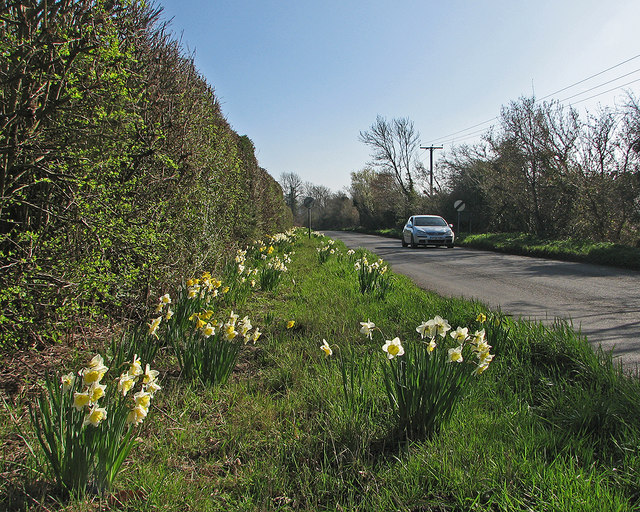 Daffodils by Wilbraham Road