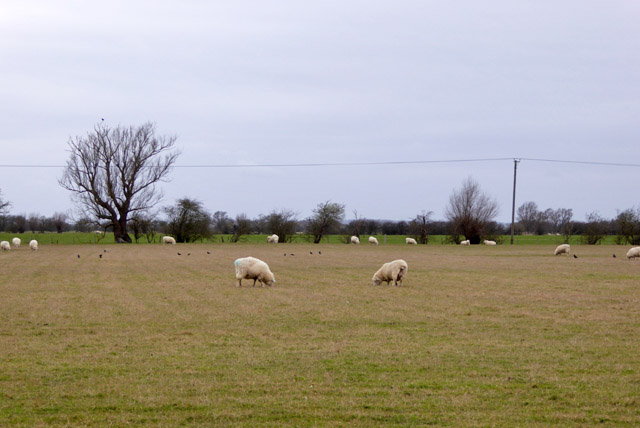 Sheep, Romney Marsh