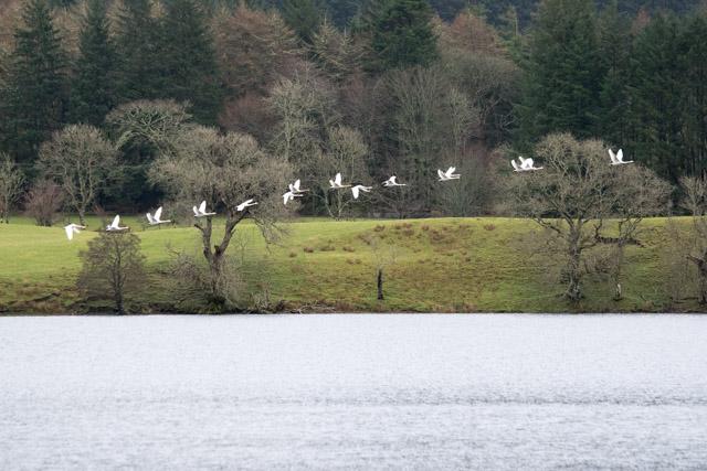 Whooper swans leaving Argyll