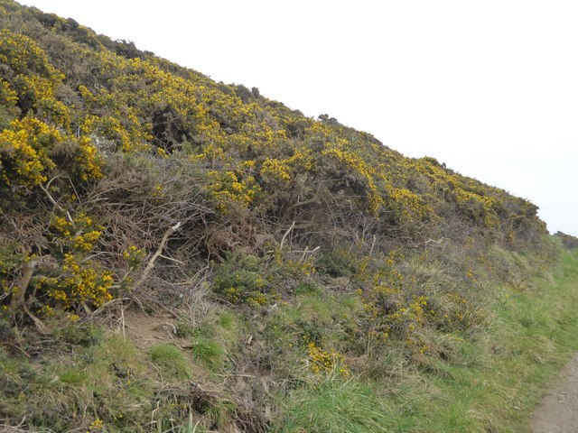 Thick gorse on Saunton Down