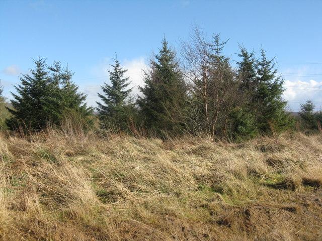 Spruce plantation at Buteland
