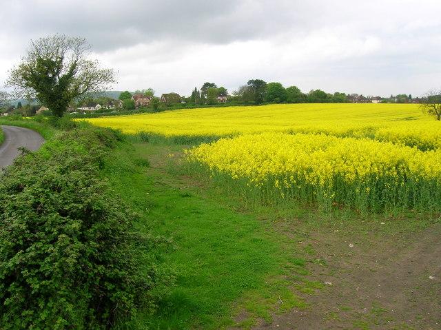 Oil seed rape in flower, Upper Icknield Way
