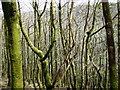 SN6778 : Moss covered trees in Pant Da Wood by John Lucas
