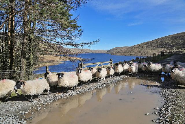 Sheep on the road to Winterhopeburn