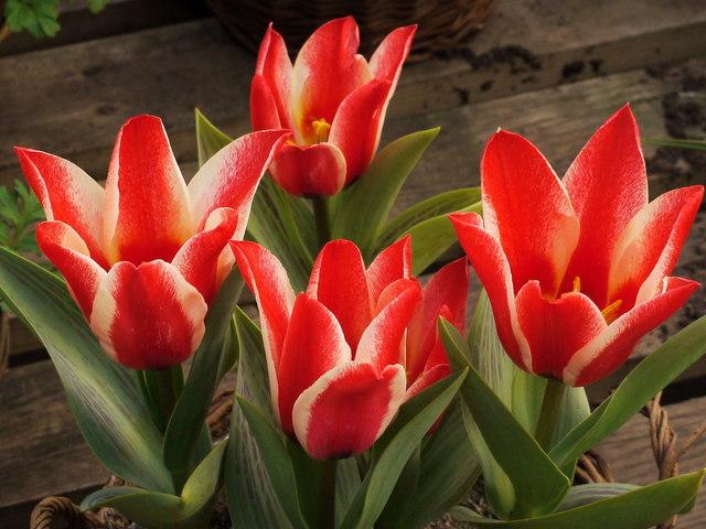 Tulipa greigii 'Pinocchio'