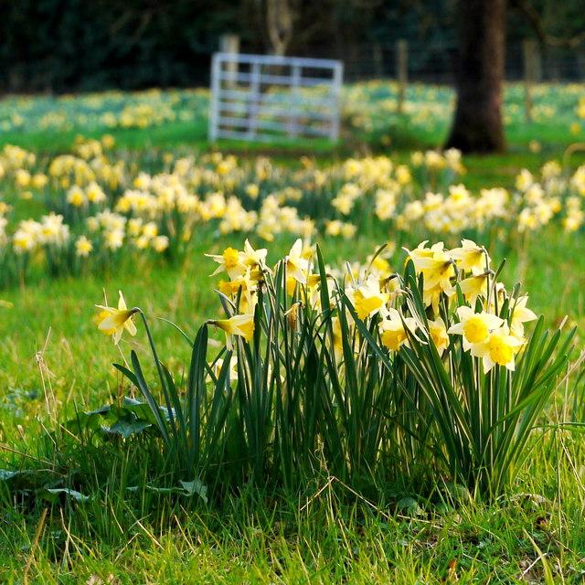 Wild daffodils at Kilcot Green, 1