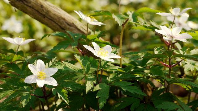 Anemone nemorosa, Wood Anemone, 2