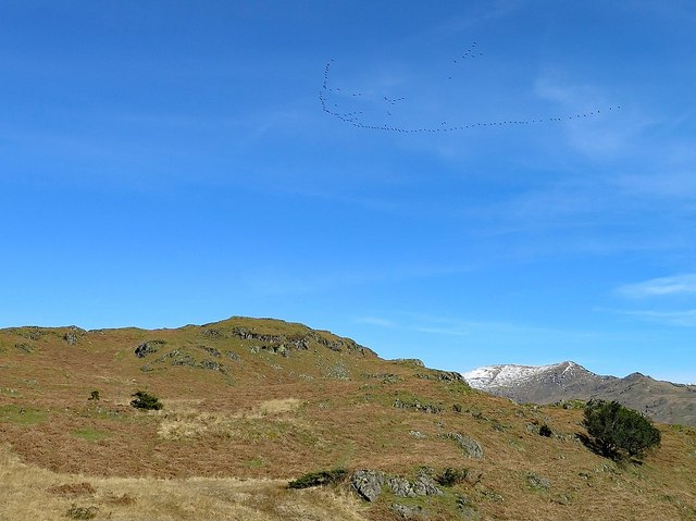 Skein of geese over Loughrigg Fell