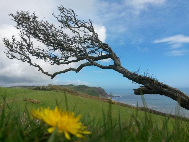 Seatown: view below a windswept tree