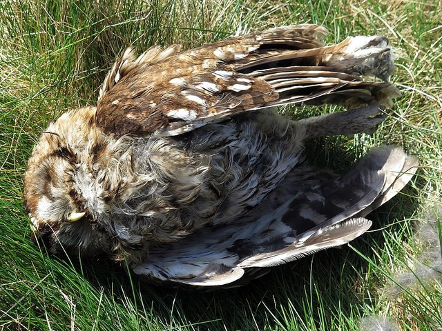 Death of a tawny owl