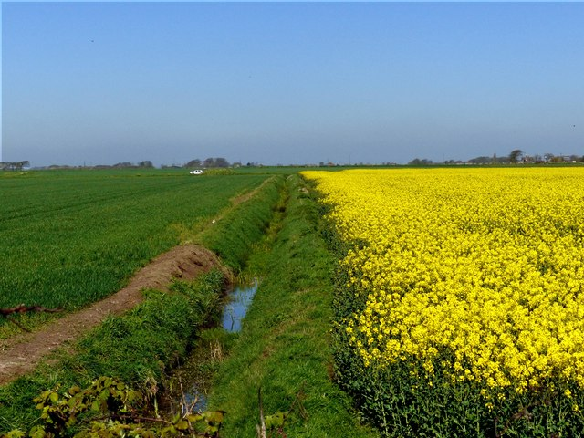 Field of Rape (Brassica napus)