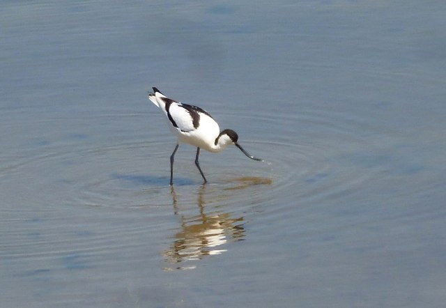 Avocet feeding at The RSPB Snettisham reserve