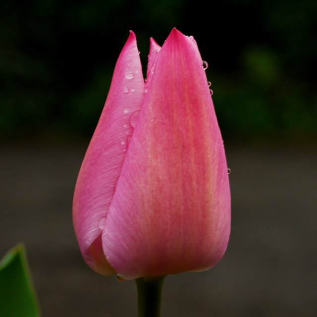 Pink tulip at dawn