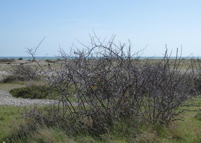 Scrubby little bush; Pagham