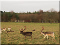 SJ7581 : Group of deer in Tatton Park by Stephen Craven