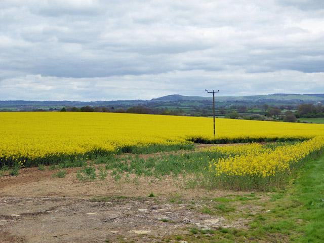 Field of oil-seed rape
