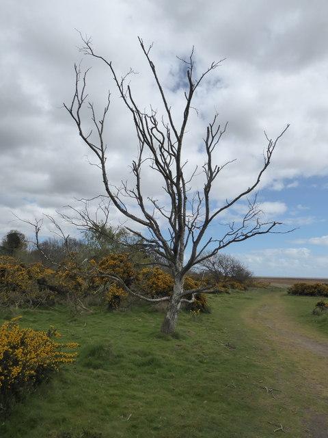Dead tree near Great Dingle Farm