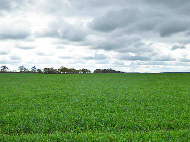 Growing wheat, north of Reading Farm