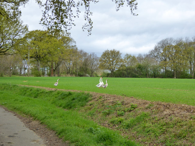 Geese in field by Sugar Lane