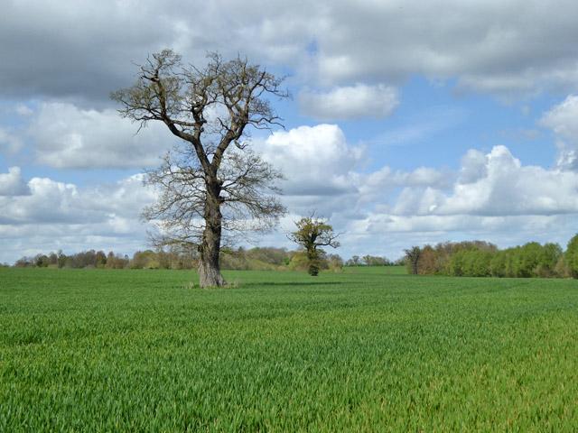 Trees in wheat field