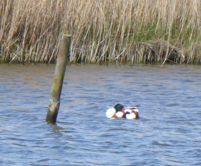 Shelduck (Tadorna tadorna) amongst the reeds