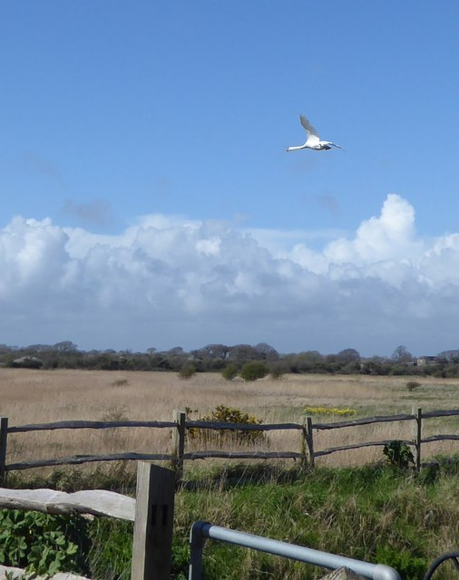 Swan flying over the reeds