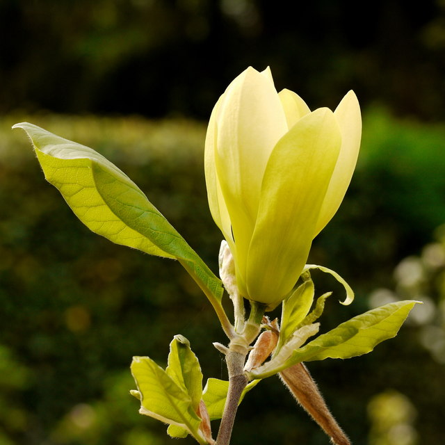 Magnolia 'Solar Flair'