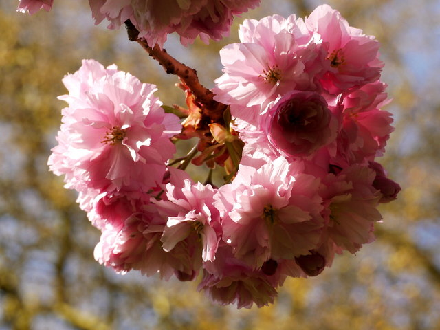 Cherry Blossom, Henrietta Park