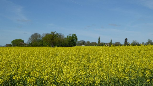 Oilseed rape crop