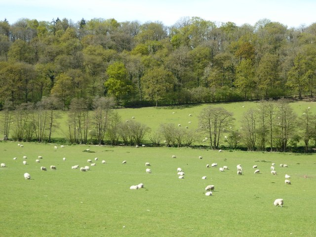 Sheep in a field below Nurdens Wood