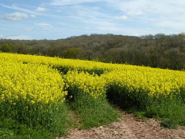 Oilseed rape and Westfields Wood