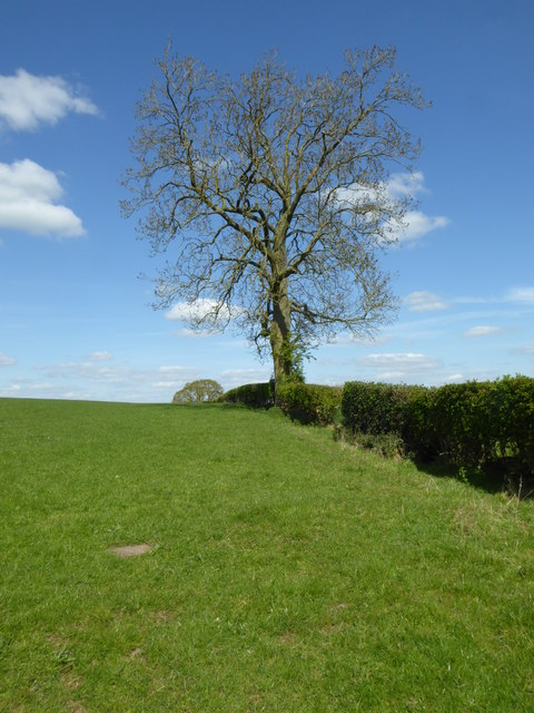 Tree in a hedgerow