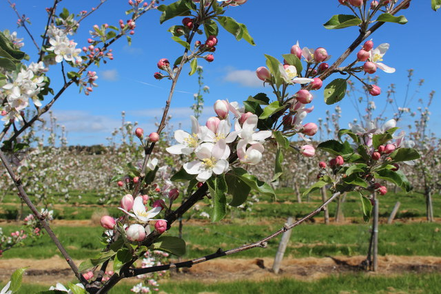 Apple blossom at Great Woodend farm