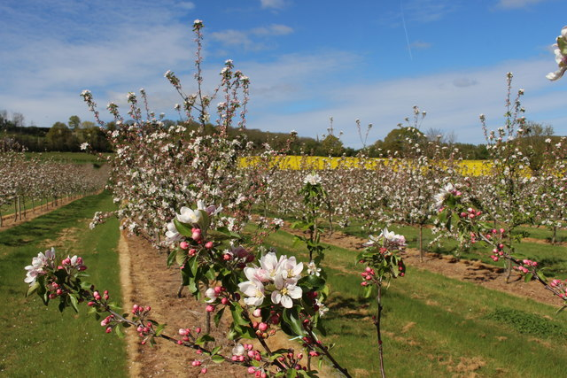 Orchard in blossom at Great Woodend farm