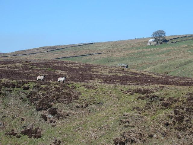 Tongue of heather moorland between the valleys of Quickcleugh Burn and Henshaw Burn