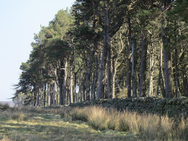 Plantation near Riddlehamhope