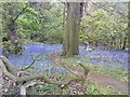 SO8891 : Bluebell Bank by Gordon Griffiths