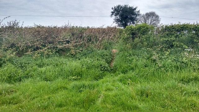 Badger run between fields