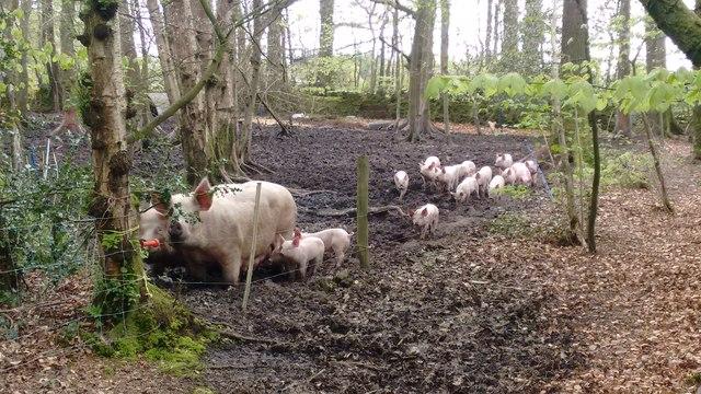 A fine set of piglets near The Drift