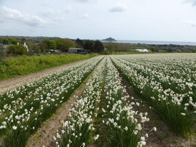 Narcissi and The Mount