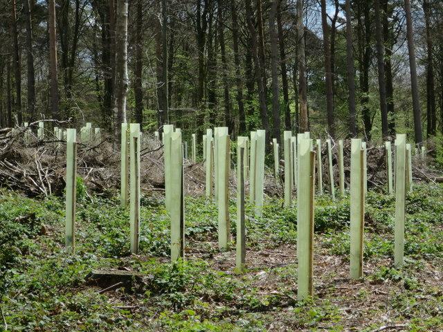 New trees at Footland Wood