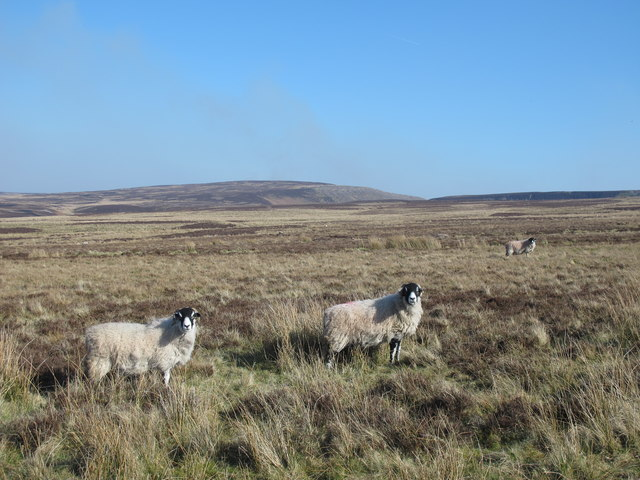 Moorland (and Swaledales) south of Harwood Shield
