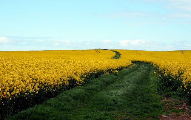 Grass Track in the Rapeseed