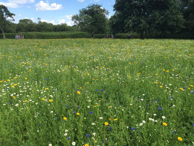 Sown wildflowers, St Nicholas Park, Warwick
