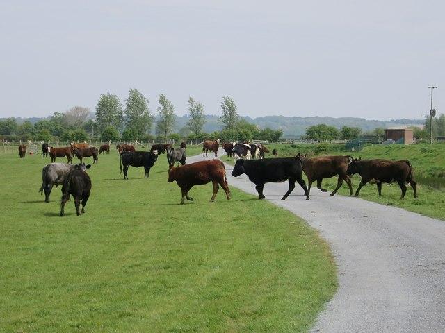 Cows near Maytham Wharf Farm