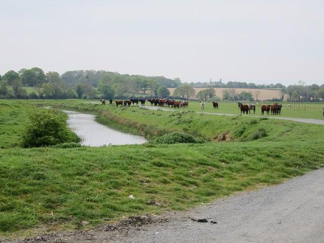 Cows & drainage channel near Maytham Wharf Farm